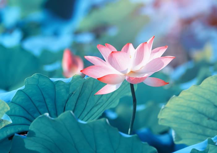 蓮の花を見た後は…(写真:iStock)