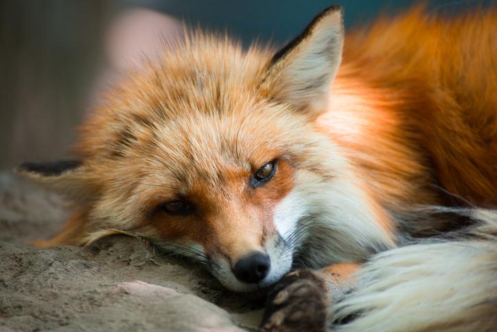 女狐って言葉もあるけれど(写真:iStock)