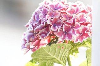 紫陽花は憂うつな気分を吸い取る…嫁が義母に贈った意味は?