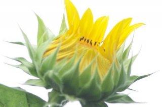花の蕾が秘めるエネルギー 恋愛運UPには暖色系を北に飾って