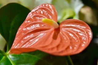 ハート型で可愛い…アンスリウムは恋愛を具現化したような花