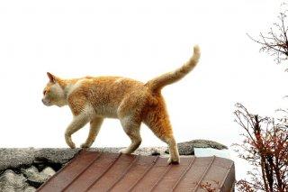 """屋根の上を元気にお散歩 """"にゃんたま""""探しは早朝と夕方が吉"""