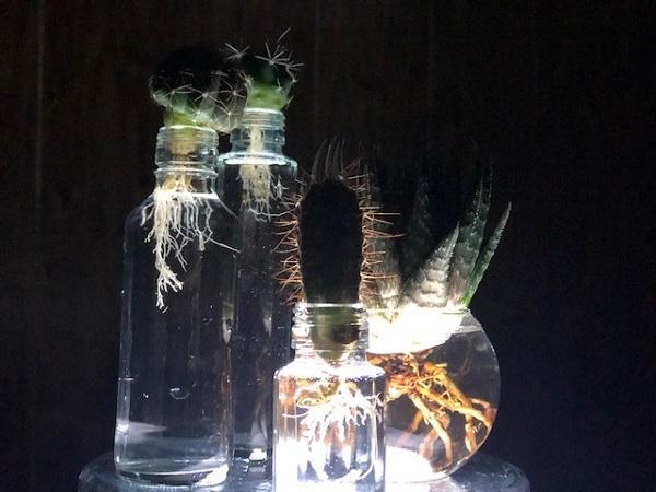 幻想的なサボテンの水耕栽培(写真:斑目茂美)