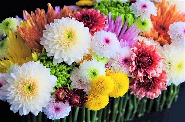 高貴な威厳さを持った菊の花(写真:OPTIMUM 藤目健太)