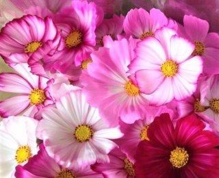 宇宙と秩序の花「コスモス」 お部屋に飾って女子力アップも