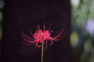 秋彼岸が近づくと紅に咲く「彼岸花」にご先祖様の知恵と想い