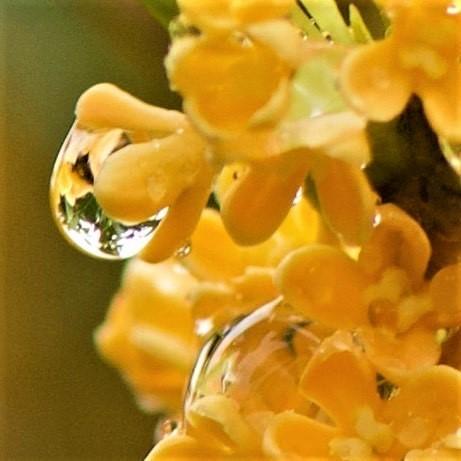 ステキな香りの正体は「金木犀」(写真:aribaba)