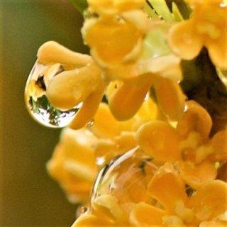 秋の香り「金木犀」は女性の味方!アンチエイジングにも期待