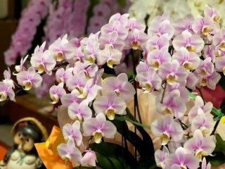 絶対安心の贈答花…幸せを呼ぶ「胡蝶蘭」の置き場所は?