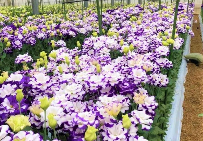 幾重にも重なる柔らかな花びらは癒しの感触(写真:株式会社フラワーハウスオザワ)