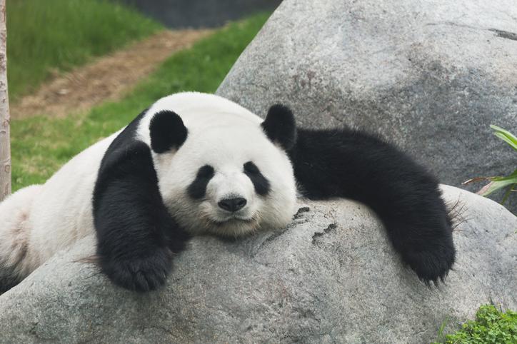 """パンダの可愛さの秘密は""""下重心""""(写真:iStock)"""