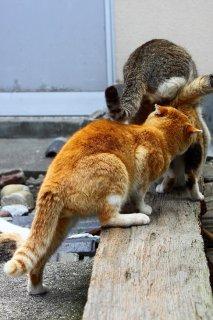 """「負けられないにゃ!」""""にゃんたま""""が雌猫ちゃんを取り合い"""
