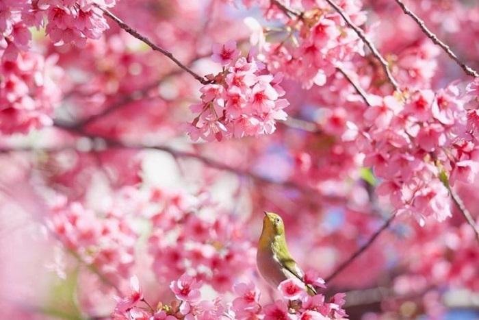 今年の桜は暖冬の影響をモロに受けております(写真:Aribaba)