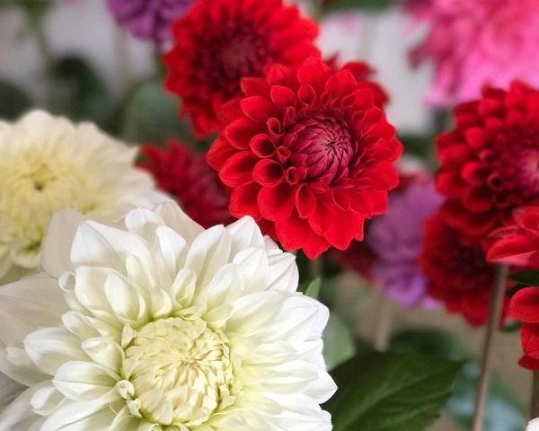 魅惑の花ダリアは色も形もメッチャ豊富!実は広げた掌並の大きさ(写真:東花園)