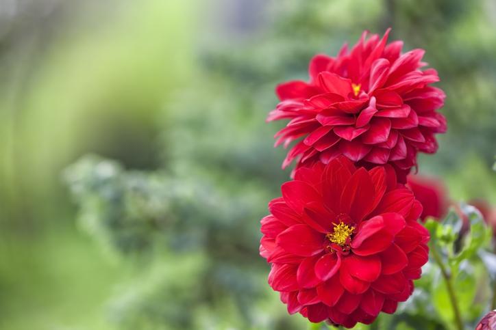 赤い大輪の花で恋愛運UP(写真:iStock)