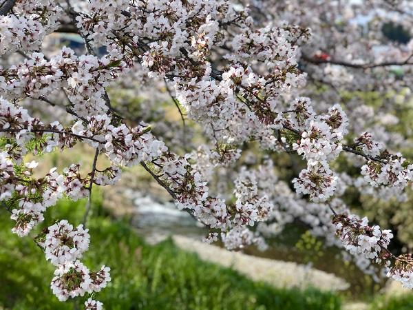 小川と桜はよく似合うのでございます