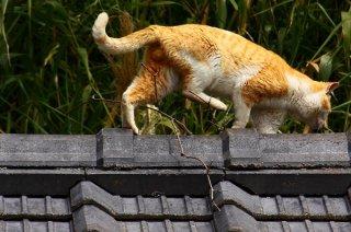 """屋根の上から危険を察知!逃走中の""""にゃんたま""""君をパチリ"""