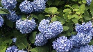 ハートの紫陽花 2020.6.15(月)