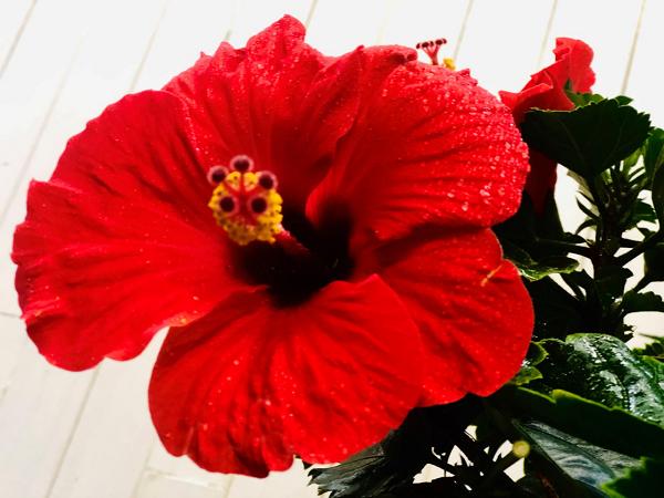 真っ赤な花は魔除けの花