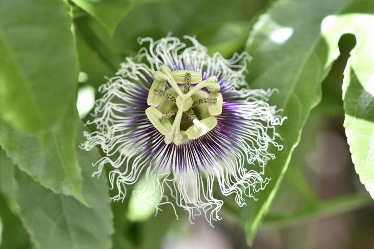 パッションフルーツの花は摩訶不思議 (写真:Aribaba)