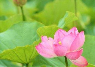 アナタにチャンスをもたらす!極楽の花「蓮」は幸運最強の花