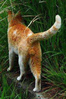 """気になる白猫を見つめて…片思い中の""""にゃんたま""""の後ろ姿"""