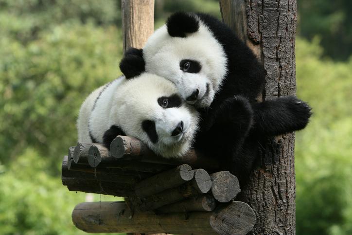 パンダは可愛いんだけどね…(写真:iStock)