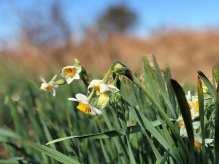 春の訪れと幸運をもたらす…強くてたくましく美しい「水仙」