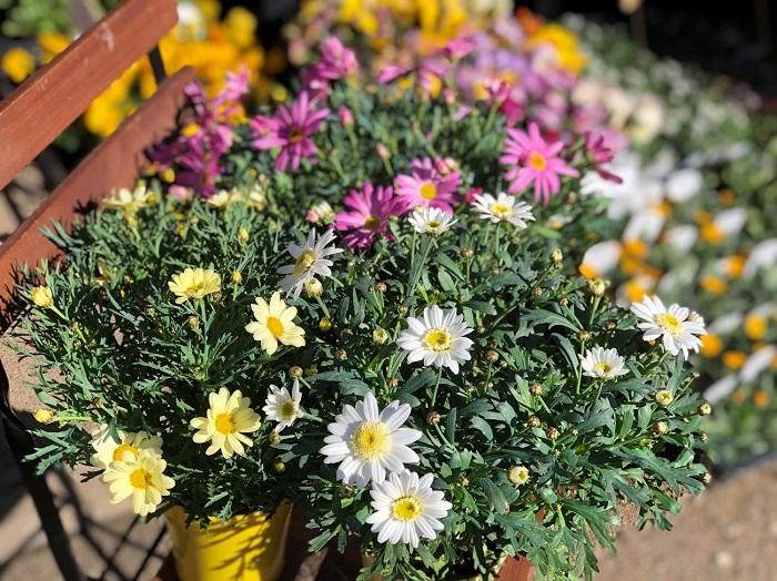ガーデニング初心者向け 春と秋に咲く開花時期の長さが特徴でございます