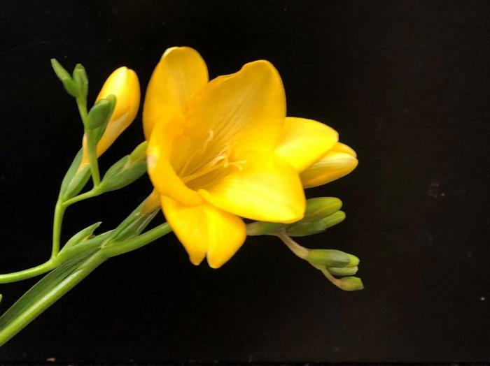 黄色のフリージアで元気に