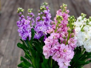 春を運ぶ花「ストック」は幸運も運ぶ! 魅力や花持ちのコツ