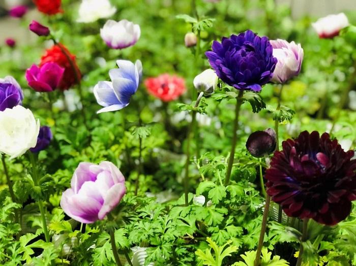 咲き姿がなんとも可愛らしいのでございます。