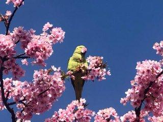 桜とインコ 2021.3.26(金)
