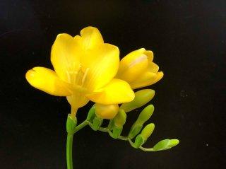 新しい門出と旅立ちを強力に応援する!春の花「フリージア」