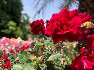 生田緑地ばら苑で「ベルばら」を思う 2021.5.15(土)