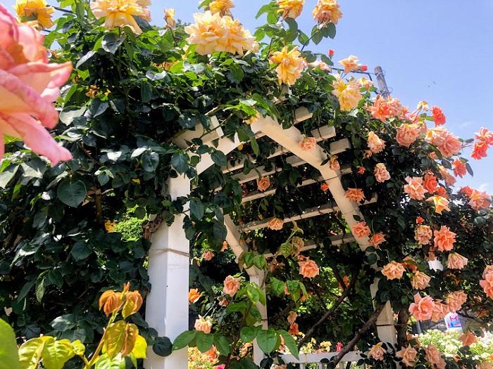 バラが咲き乱れるアーチ…乙女の世界や(C)コクハク