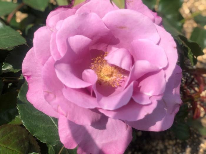 花びらの重なり方がエロい(C)コクハク