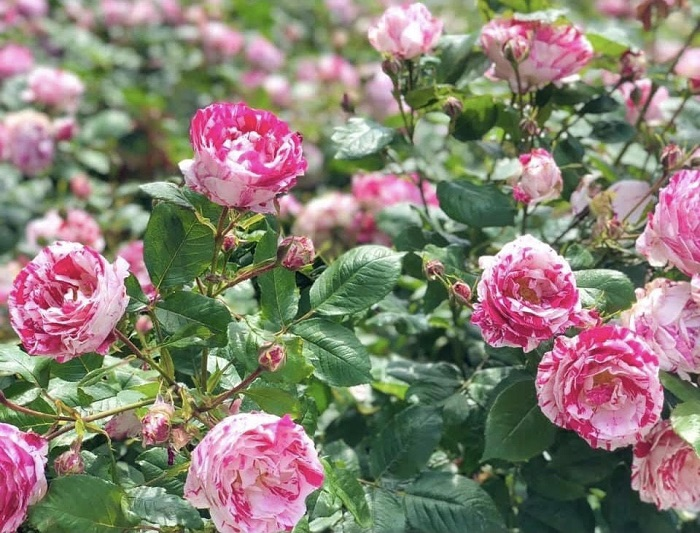 6月2日は「ローズの日」   写真 浅野光寿