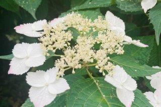 whiteの紫陽花 2021.6.3(木)