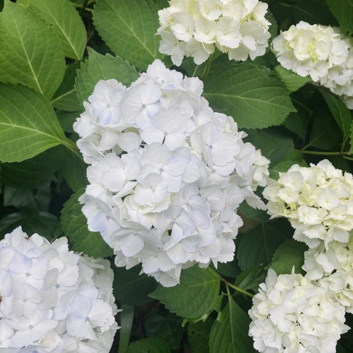 手まり咲きの美しさよ(C)コクハク