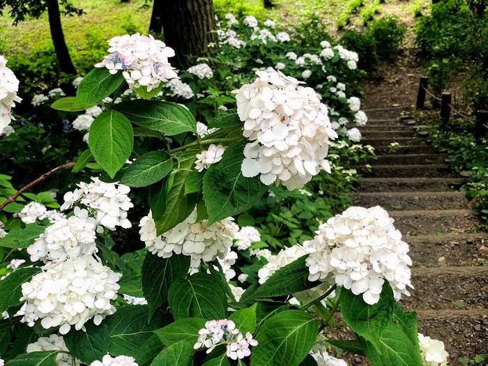 真っ白な紫陽花たちがお出迎え(C)コクハク