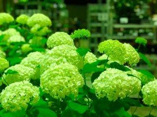 運命変わる土用の丑の日に…金運UPの花「アナベル」の育て方