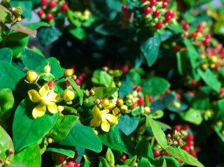 魔除けの花を吊るして家庭円満!幸せ爽やかな香りヒペリカム