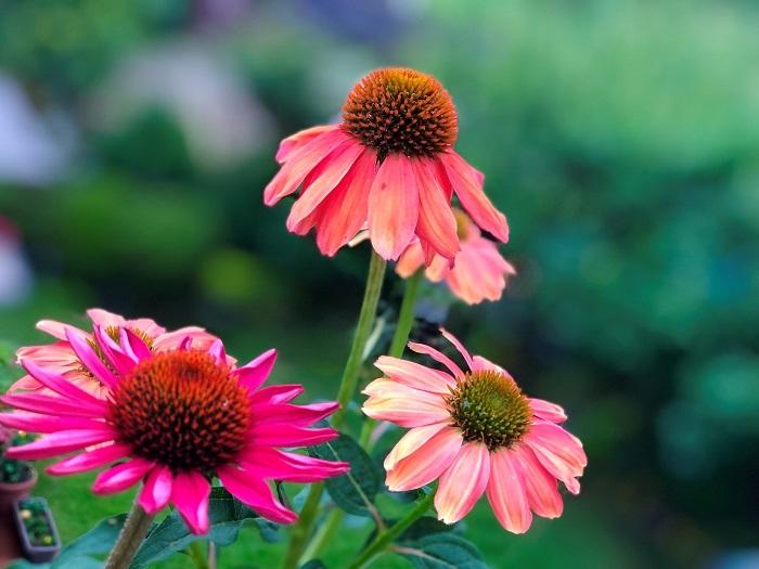 鮮やかな色と形で花壇のシンボルに