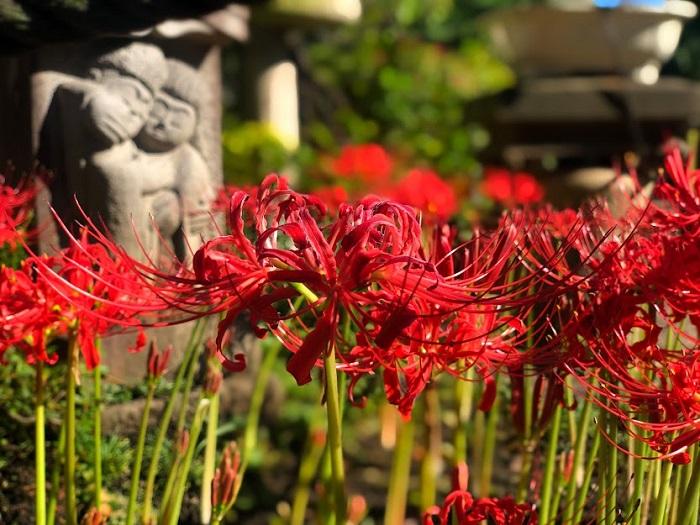 咲き誇る彼岸花(C)コクハク
