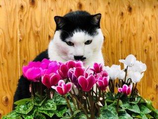 「ガーデンシクラメン」攻略法! 間違った園芸方法に決別を