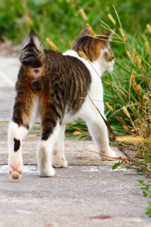 """どれにしようかにゃ♪ 猫じゃらしを吟味する""""にゃんたま""""君"""
